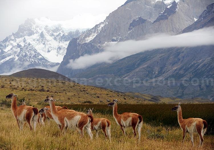 Groupe de guanacos, Patagonie