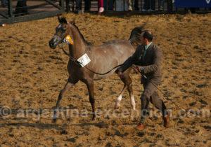Cheval race créole, La Rural
