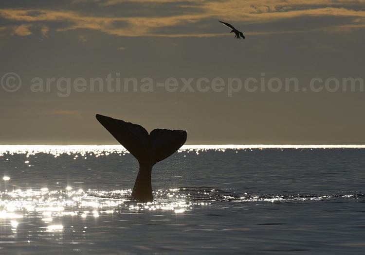 Baleine au coucher de soleil