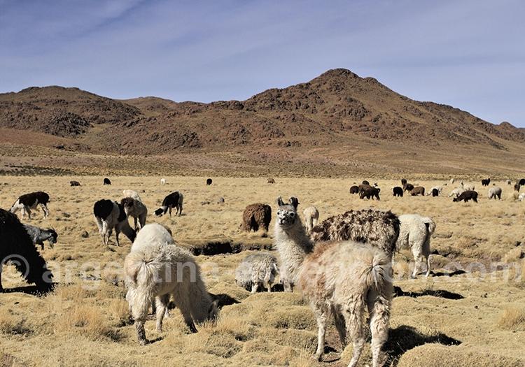 Élevage de lamas dans la puna argentine