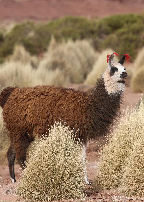 Grands mammifères d'Argentine