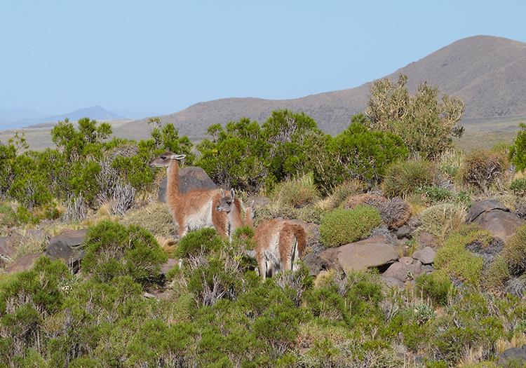 Guanacos sur la Route 40, San Rafael
