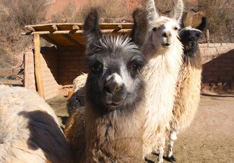 Lamas, faune d'Argentine