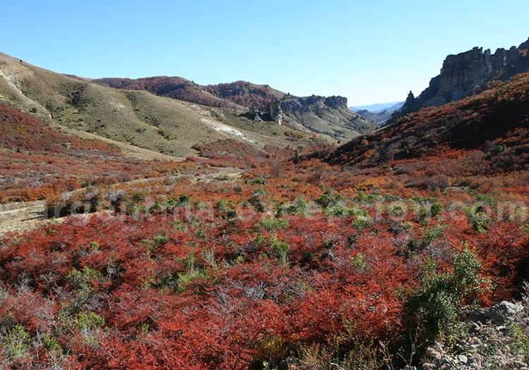Lenga Nothofagus de Patagonie