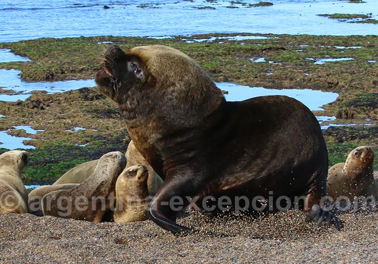 Lions de mer et son harem, Bahia Bustamante