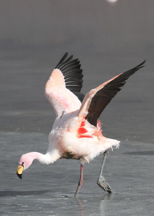 Oiseaux de l'Altiplano