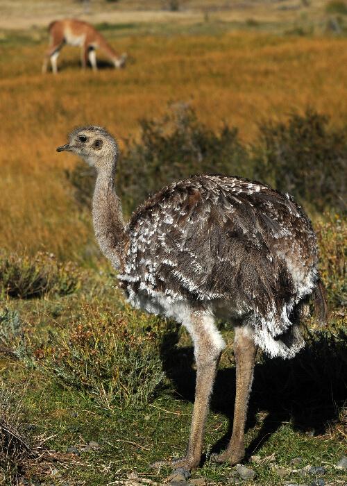 Oiseaux des savanes et pampas d'Argentine