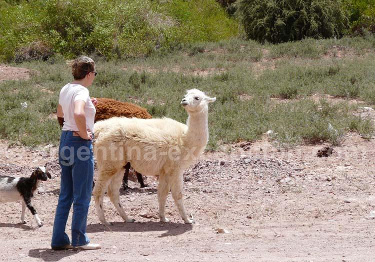 Rencontre avec un lama
