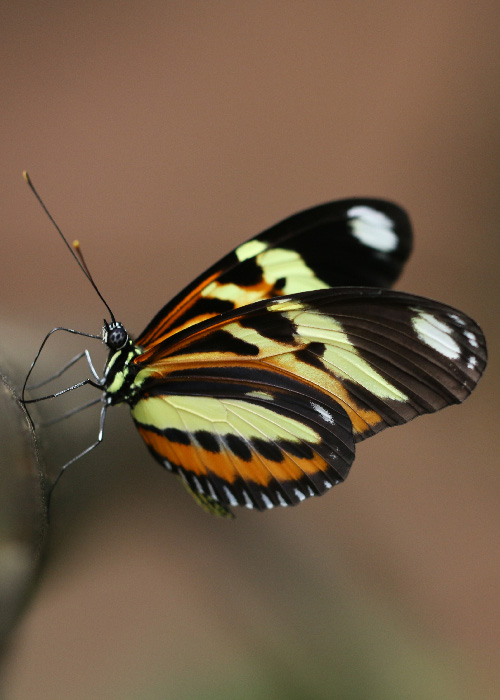 Papillons d'Argentine