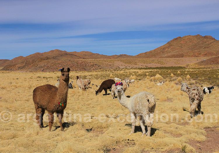 Randonnée avec les lamas à la Laguna de los Patos