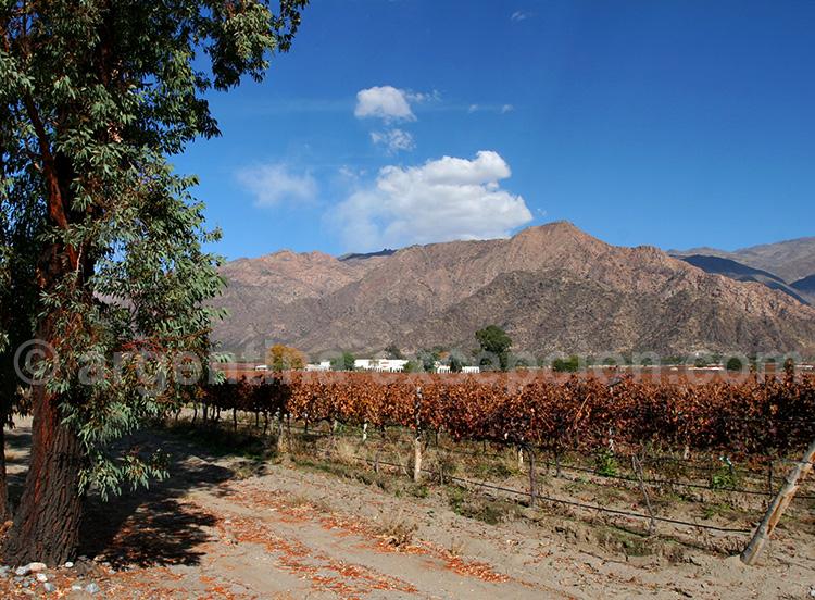Vignes à Cafayate