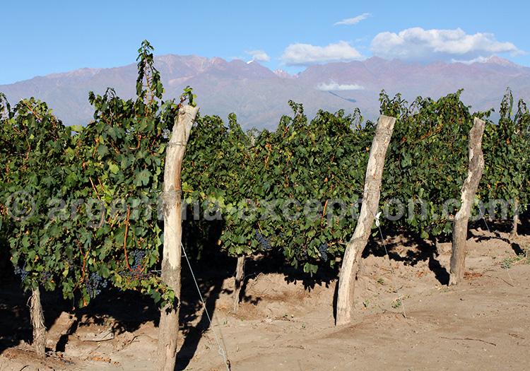 Vignobles Mendoza Argentine