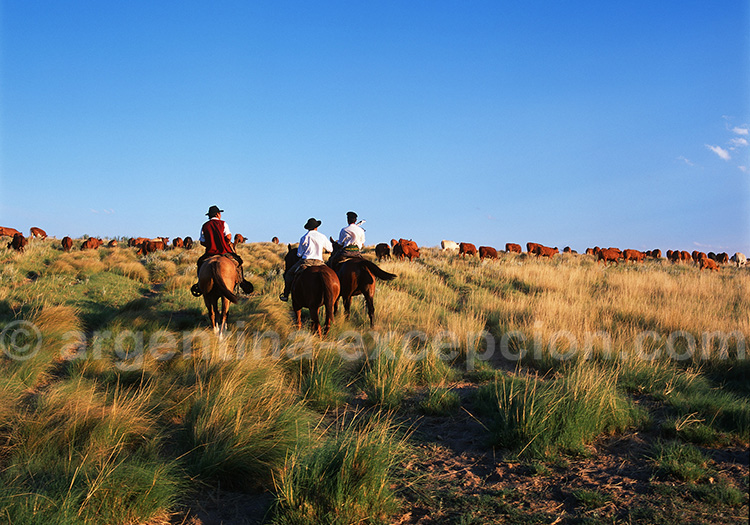 Troupeau dans la Pampa